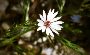 Tiny Flower by caitlinwithasea