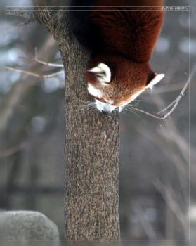 Red Panda: Flipped Gravity by Flame-of-the-Phoenix