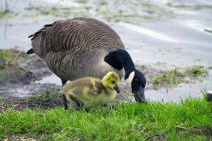 Goose with her baby by jonathanfaulkner