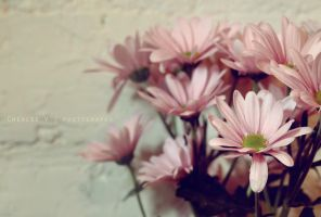 Pink daisy by chealse