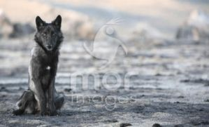 Wolf Pup by morimages