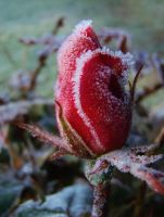 Frosted Rose by auto64