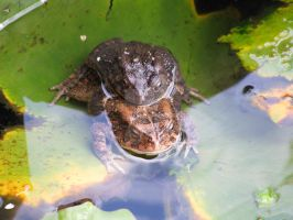 Frogs mating 4936 by Maxine190889