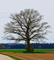 solitary tree by Mittelfranke