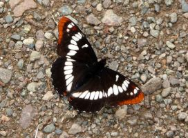 Lorquin's Admiral Butterfly I by Track-Maidens