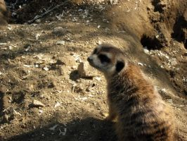 Meercat 1 by my-dog-corky