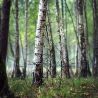 birches by tsigane