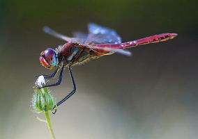 red dragonfly by sh0ggy