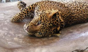 Lounging Leopard by Bougel