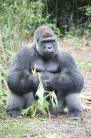 Wu-stock: Gorilla by wu-stock