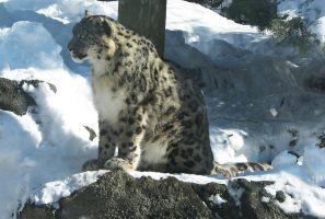 Snow Leopard Stock 4 by HOTNStock