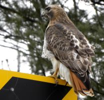 Hawk on sign by carvenaked
