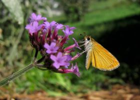 Least Skipper #2 by JED1948