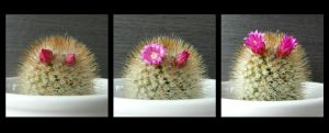 The evolution of cactusflowers (~'3')~ by OwlsomeArts