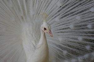 White Peacock by MorganeS-Photographe