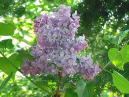 Lilac starting to bloom by Mecarion