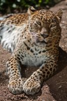 7634 - Sri Lankan Leopard by Jay-Co