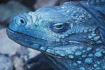 Portrait: Grand Cayman Blue Iguana 02 by ManitouWolf