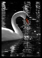 Swan by Akeiron