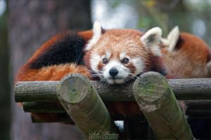 Cute firefox #3 by Seb-Photos