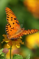 Gulf Fritillary on Latana by poetcrystaldawn