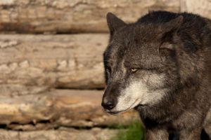Canis Lupus Lycaon by telialus