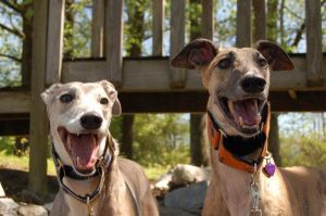 Happy Greyhounds by rmh12187