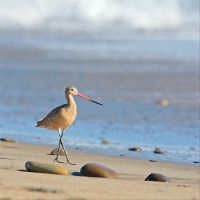 Marbled Godwit Adult Nonbreeding by clippercarrillo