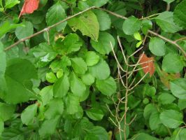 088.  Vines and Leaves by mynti-stock