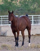 Quarter Horse Stock 2 by Rejects-Stock