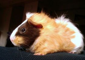 Guinea Pig by ChuRong
