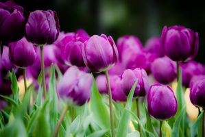 Tulip 5 by alvse