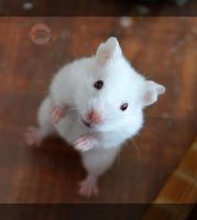 hamster_2 by nyanPHOTOgrapher