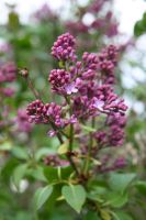 Green Grow the Lilacs 1 by WalnutHill