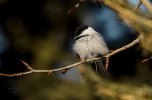 Chickadee - Spring by JestePhotography