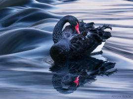 The Black Swan II by borda