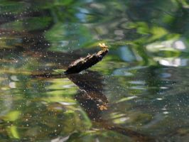 Dragon Fly on Water by touchthetruth