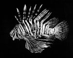 Lion Fish by KCJoughDoitch