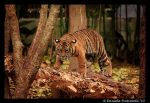 Baby Tiger: Climb by TVD-Photography