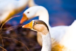 Domestic Greylag Geese by rdswords