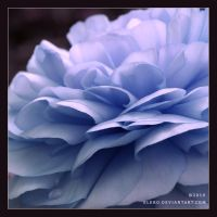 Blue Rose by elero
