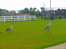 Sandhill Cranes by willow1894
