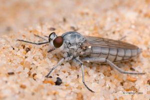 White Robberfly 2 by melvynyeo