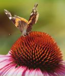 Red admiral 2 by TheBrassGlass