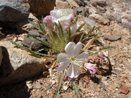 Desert Evening Primrose by ClymberPaddler