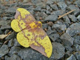 Imperial Moth by badgersoph