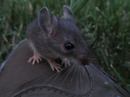 Mouse on the Shoe by Toderico