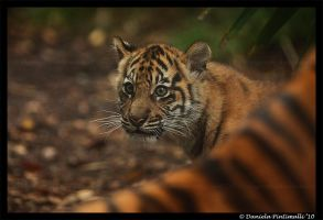 Baby Tiger: Wonder III by TVD-Photography