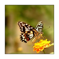 Butterfly and A Yellow Flower by cancerio
