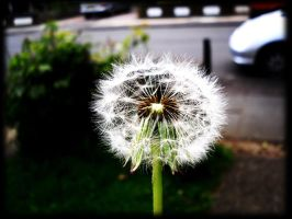 Dandelion Seeds by this-is-the-life2905